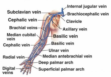 The cardiovascular system of the upper limbs