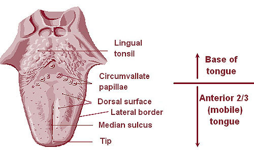 The lingual tonsils | Anatomy of the lingual tonsils | Function of ...