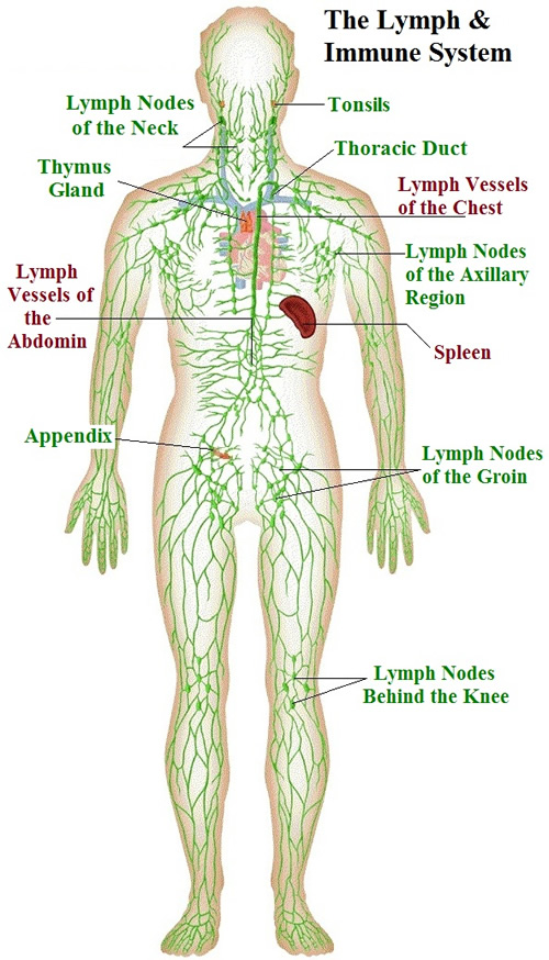 Immune And Lymphatic Systems Of The Arm And Hand Anatomy Of The