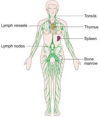 Immune and lymphatic systems of the leg and foot