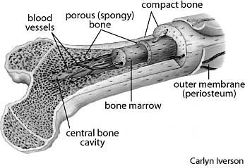 A femur cross-section