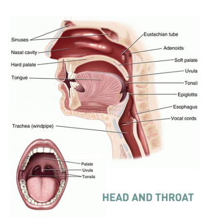 The adenoids (the pharyngeal tonsils)