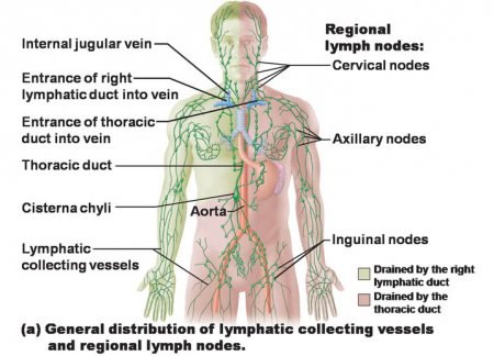 The immune and lymphatic systems of the lower torso