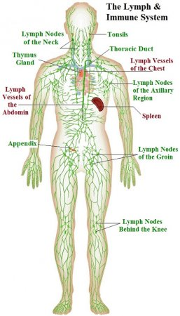 Immune and lymphatic systems of the arm and hand
