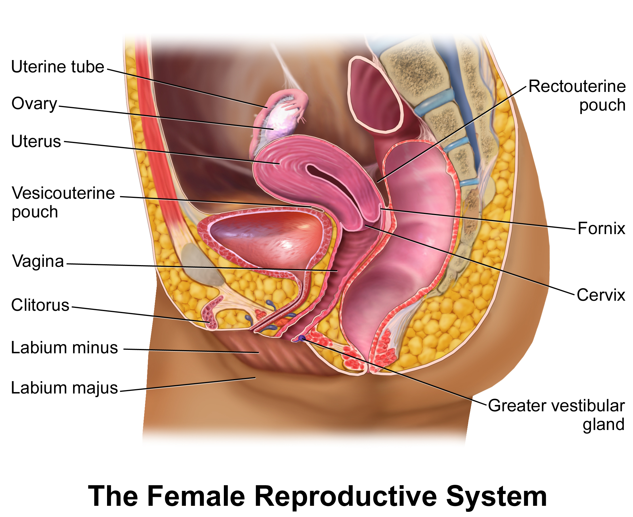 The female reproductive system | Anatomy of the female reproductive ...