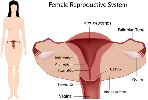 The Female Reproductive Organs Of The Lower Torso
