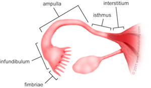 The fallopian tubes