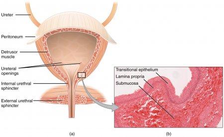 The urinary bladder