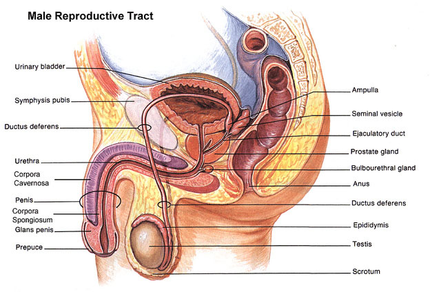 what are the male reproductive parts