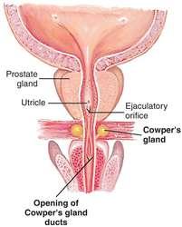 The Cowper's glands