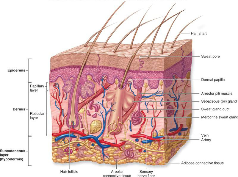 The Integumentary System Of The Head And Neck