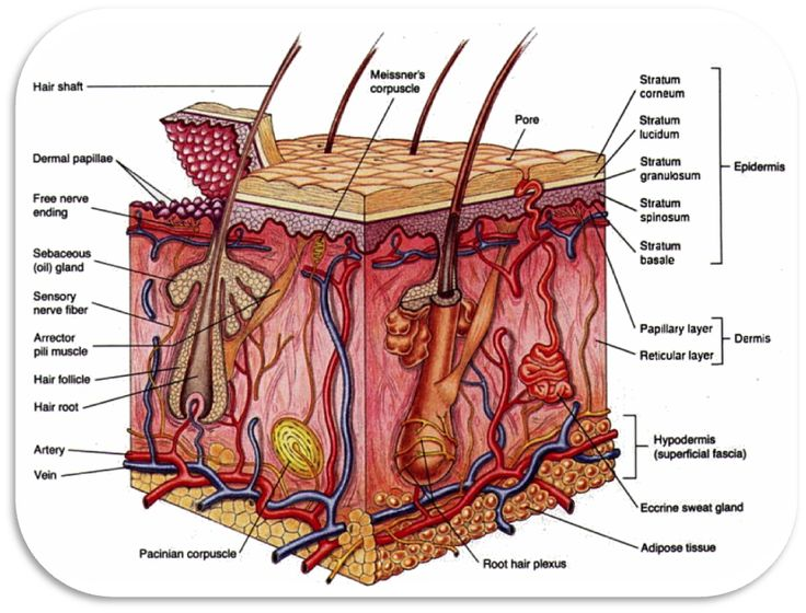 The integumentary system of the leg and foot