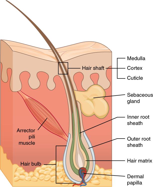 The hair | Anatomy of the hair