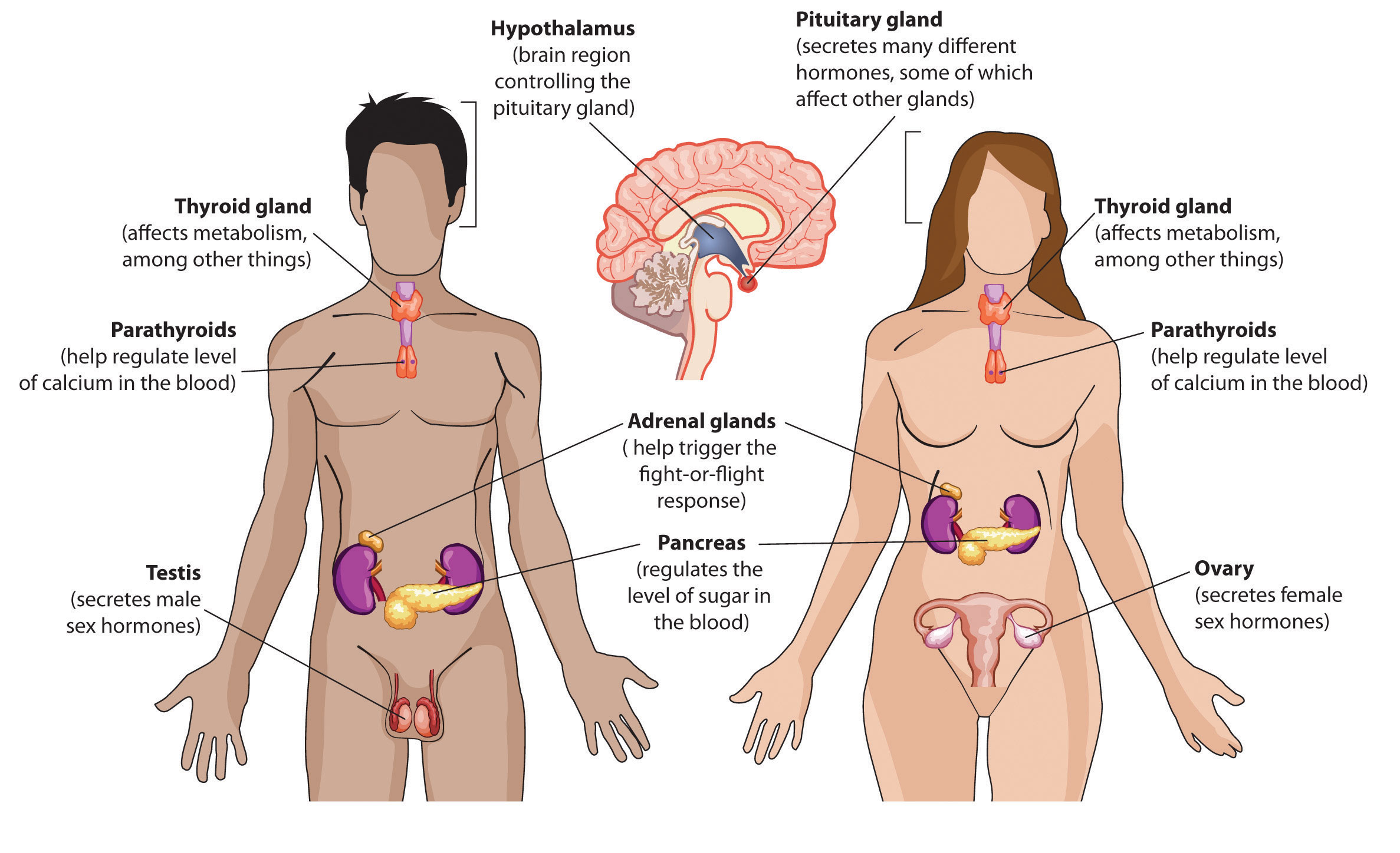 endocrine system | anatomy of the endocrine system, Cephalic Vein