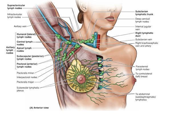 The Axillary Nodes Anatomy Of The Axillary Nodes Structure Of