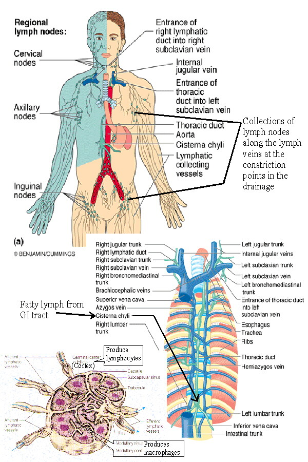 The Immune And Lymphatic Systems Of The Upper Torso Anatomy