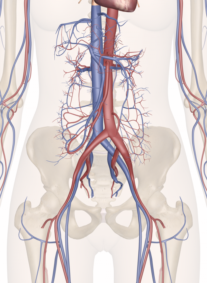 The Cardiovascular System Of The Lower Torso Anatomy Medicine