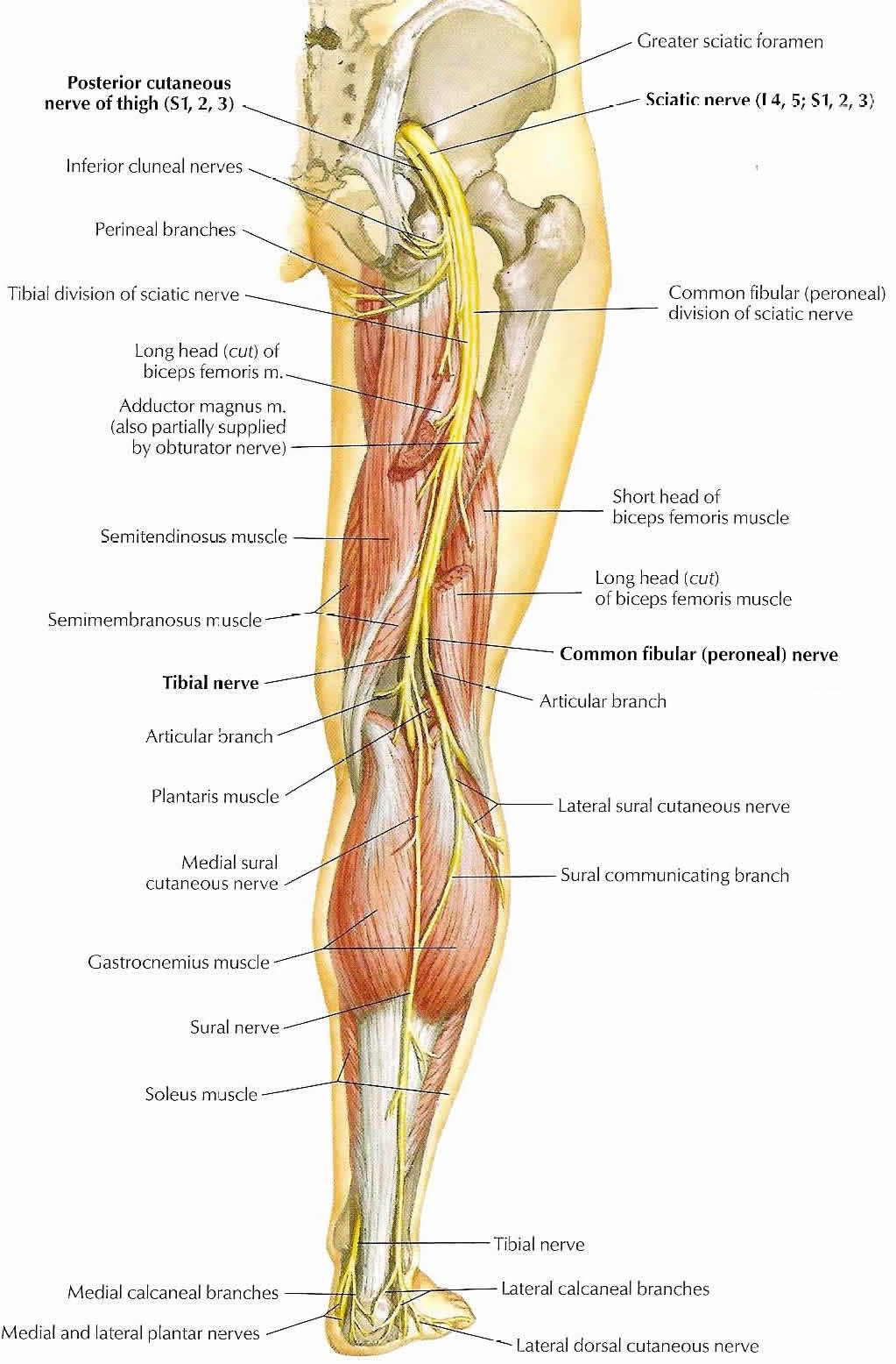 Nervous system structure of the nervous system the sciatic nerve ccuart Choice Image
