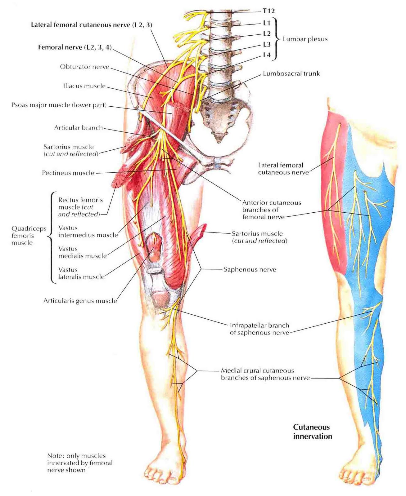 the femoral nerve | anatomy of the femoral nerve - anatomy, Muscles