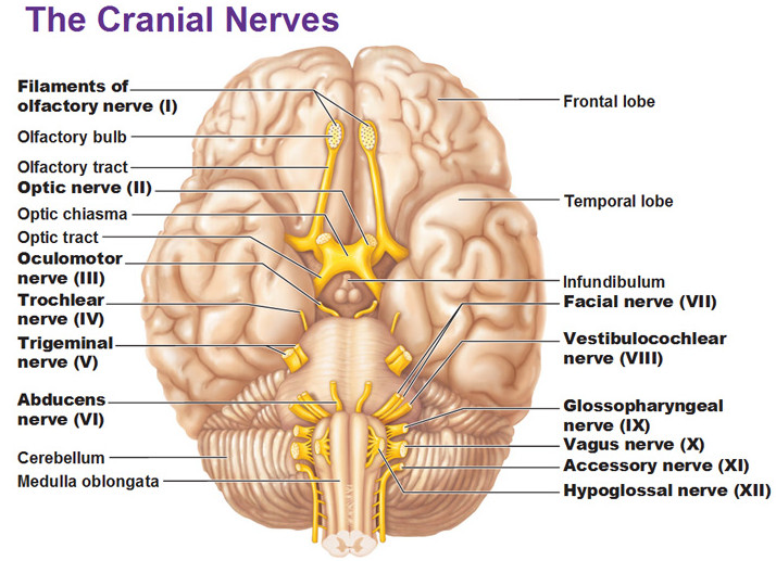 The Cranial Nerve X The Vagus Nerve Anatomy Of The Cranial Nerve
