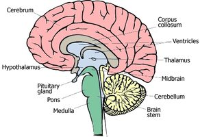the brain - anatomy-medicine, Human Body