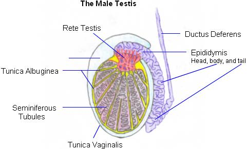 The testes | Anatomy of the testes | Structure of the testes ...