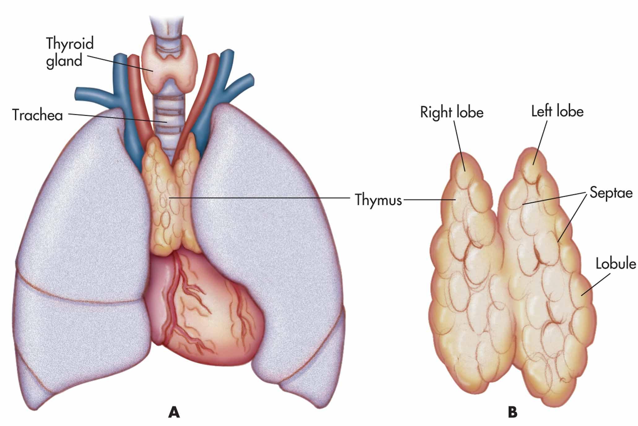 The Thymus Gland Anatomy Of The Thymus Gland Anatomy Medicine