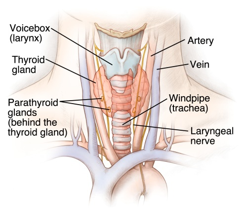 The Thyroid Gland Anatomy Of The Thyroid Gland Anatomy
