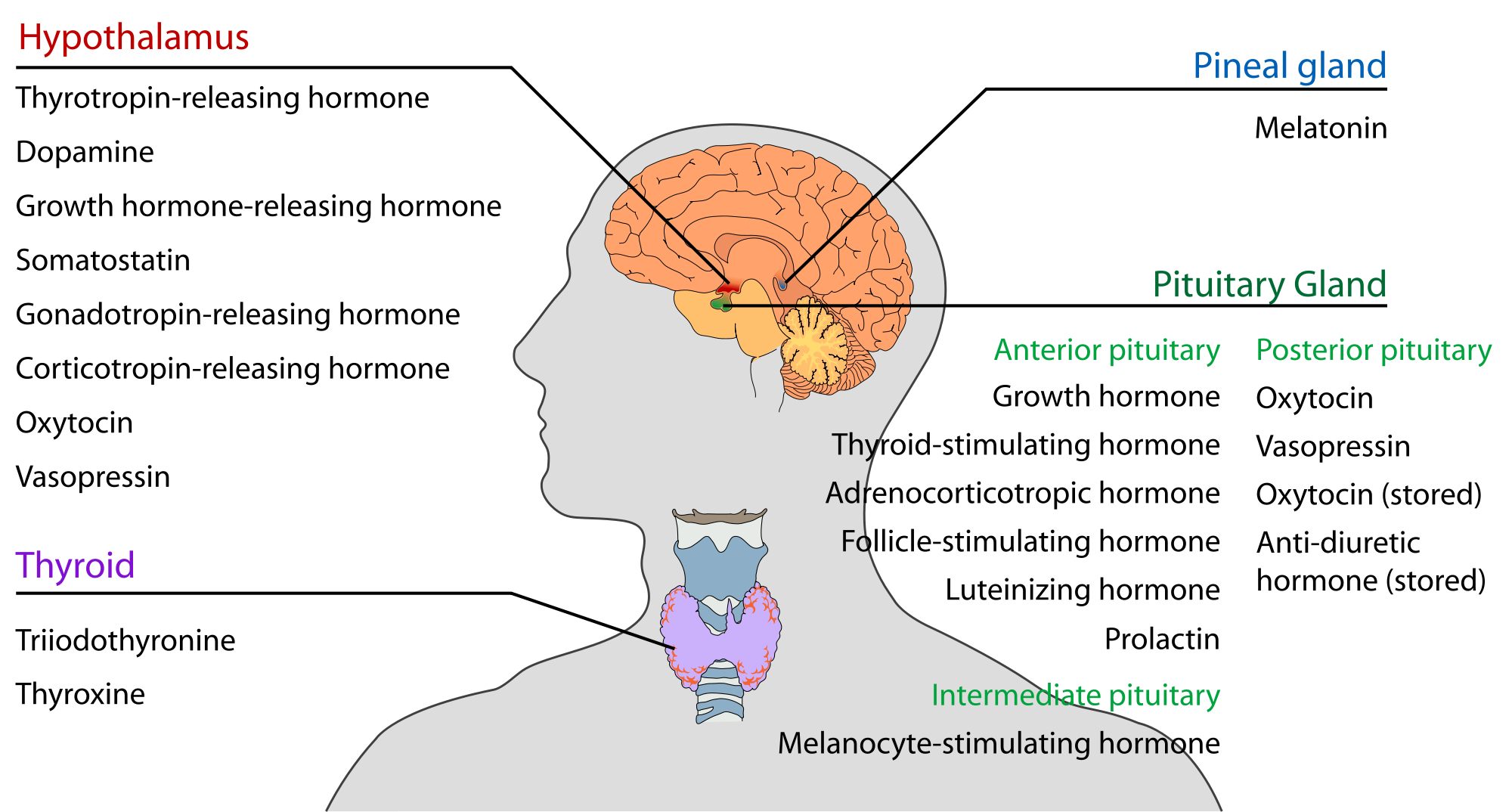 Endocrine System Brain Diagram