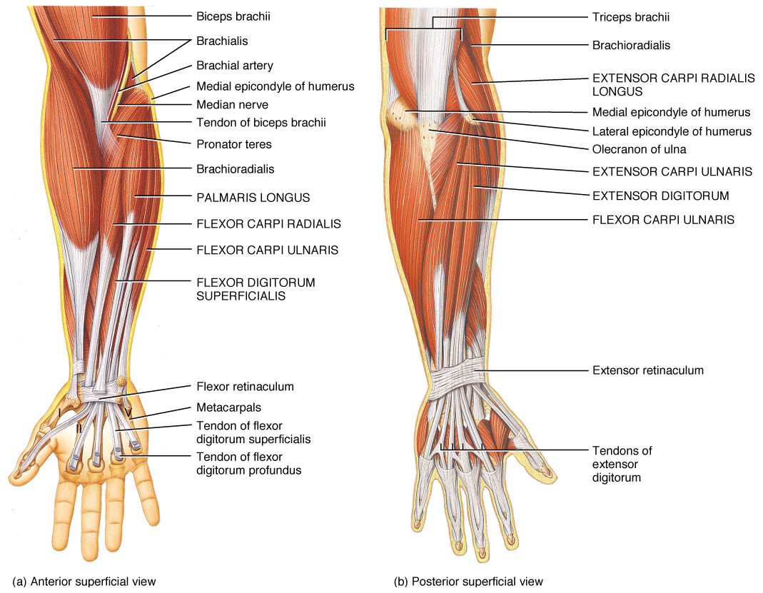 the muscles of the arm and hand - anatomy-medicine, Human Body