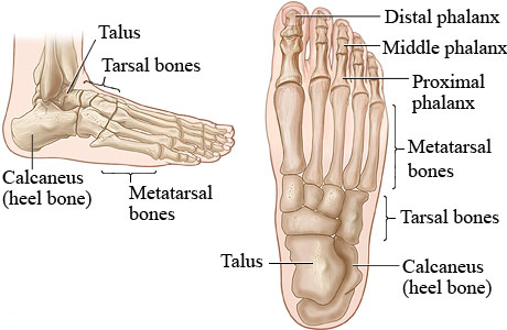 bones of the foot - anatomy-medicine, Human Body