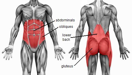 The muscles of the abdomen, lower back, and pelvis - Anatomy ...