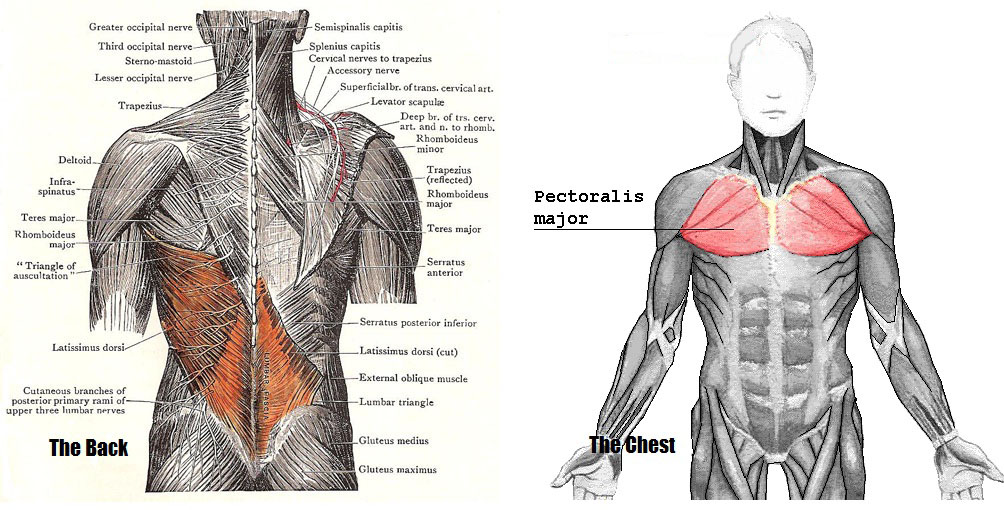 The Muscles Of The Chest And Upper Back Anatomy Medicine