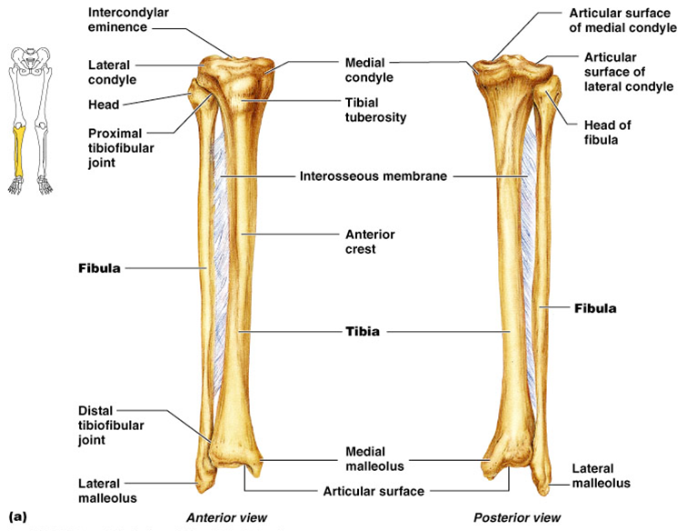 Anatomy of the tibia