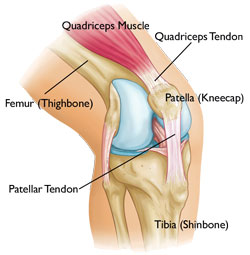 The patella
