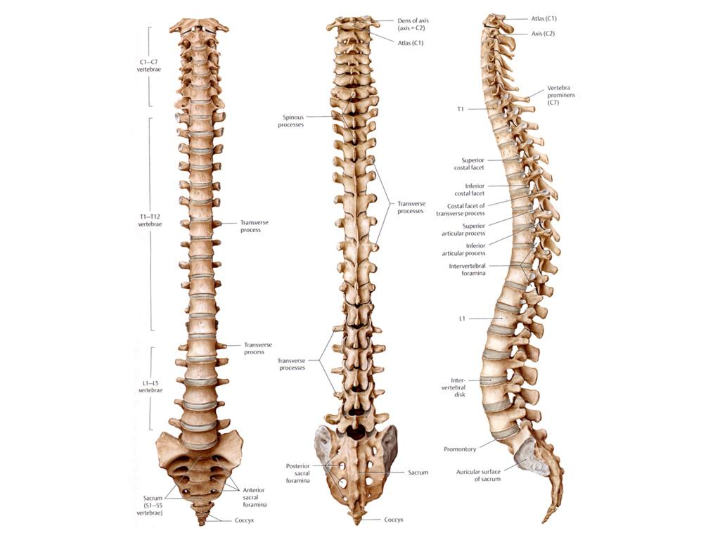 The spine | Anatomy of the spine - Anatomy-Medicine.COM