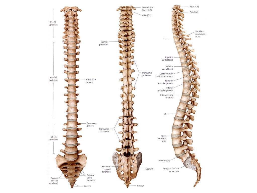 The Spine Anatomy Of The Spine Anatomy Medicine