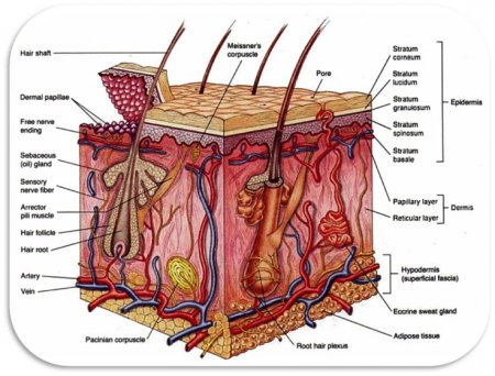 The integumentary system of the arm and hand