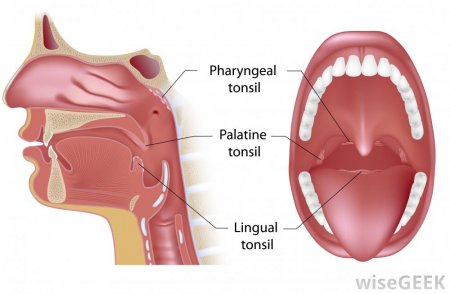 The palatine tonsils