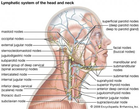 The immune and lymphatic system of the head and neck