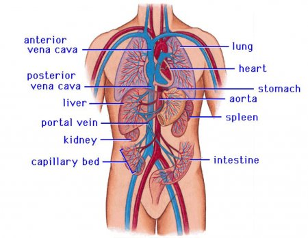 The cardiovascular system of the upper torso