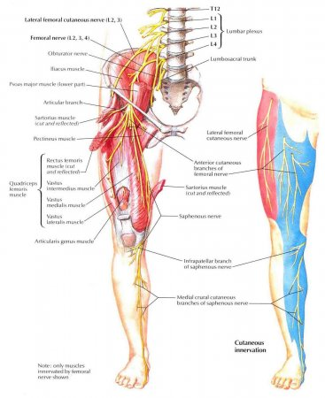 The femoral nerve