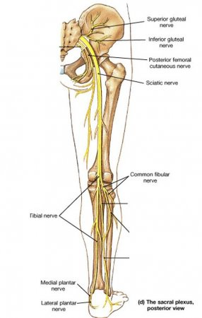 The nerves of the leg and foot