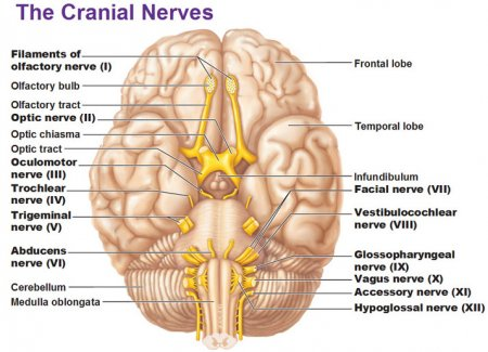 The cranial nerve X - the vagus nerve
