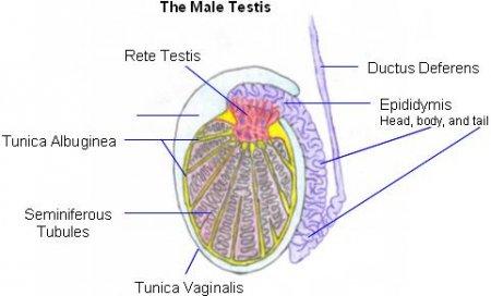 The testes