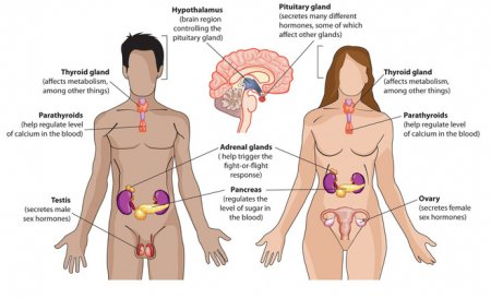 The endocrine glands of the lower torso
