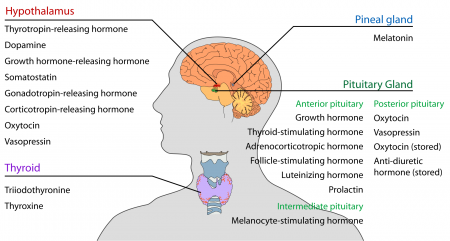 The endocrine system of the head and neck