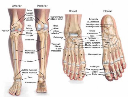The bones of the leg and foot