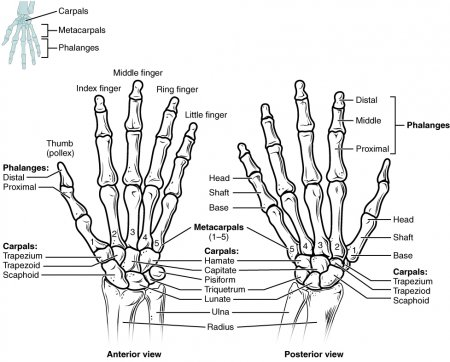 The bones of the hand and wrist