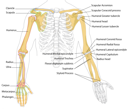 The bones of the arm and hand